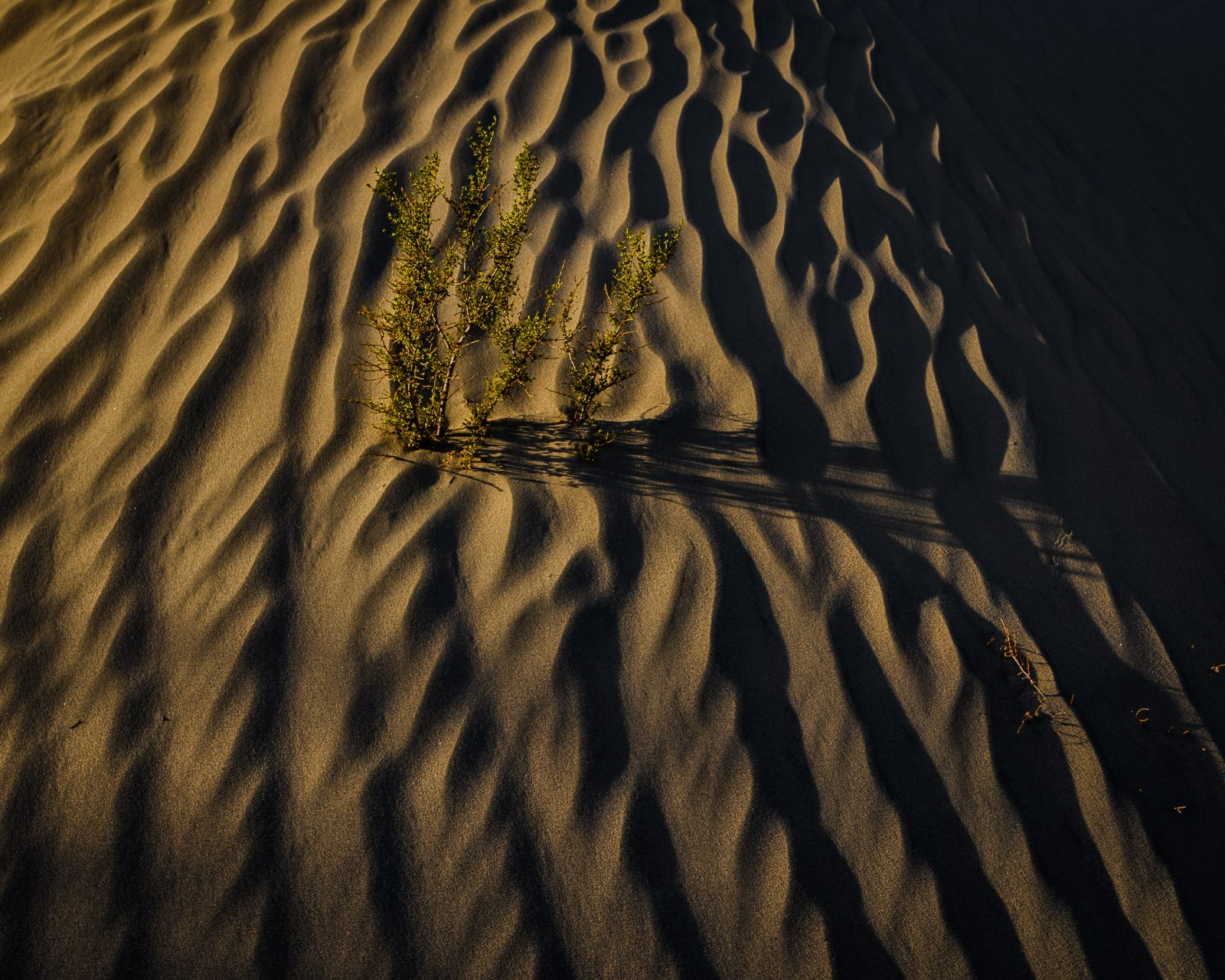 Creosote Bush in the Dunes