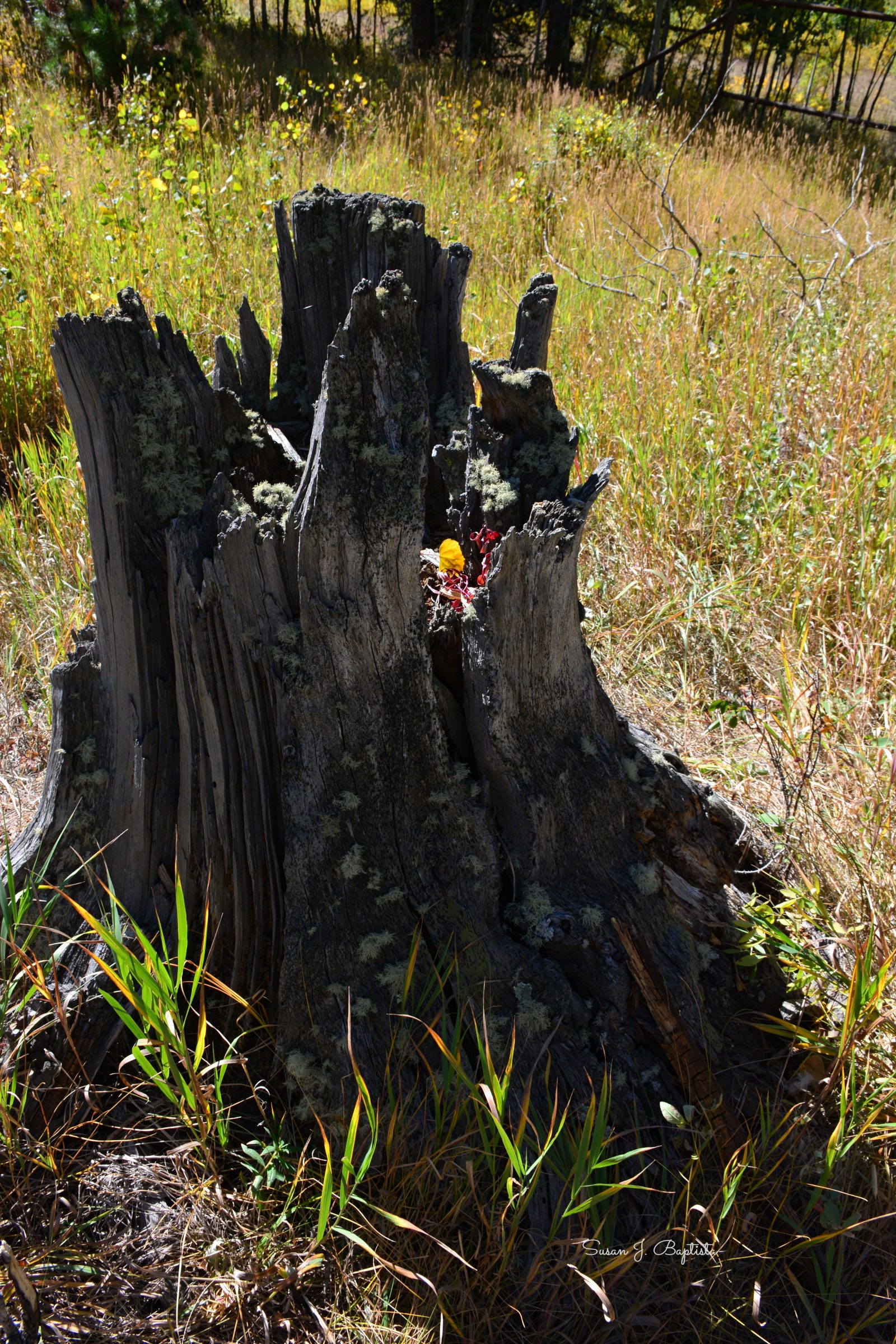 Weathered Tree Stump
