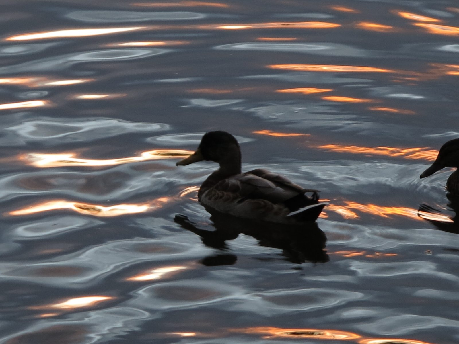 Duck at Sunset