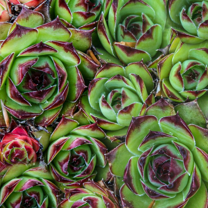 Red Tipped Succulents