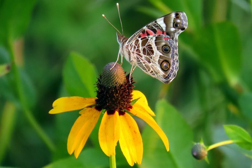 American Lady Butterfly on Black-Eyed Susan