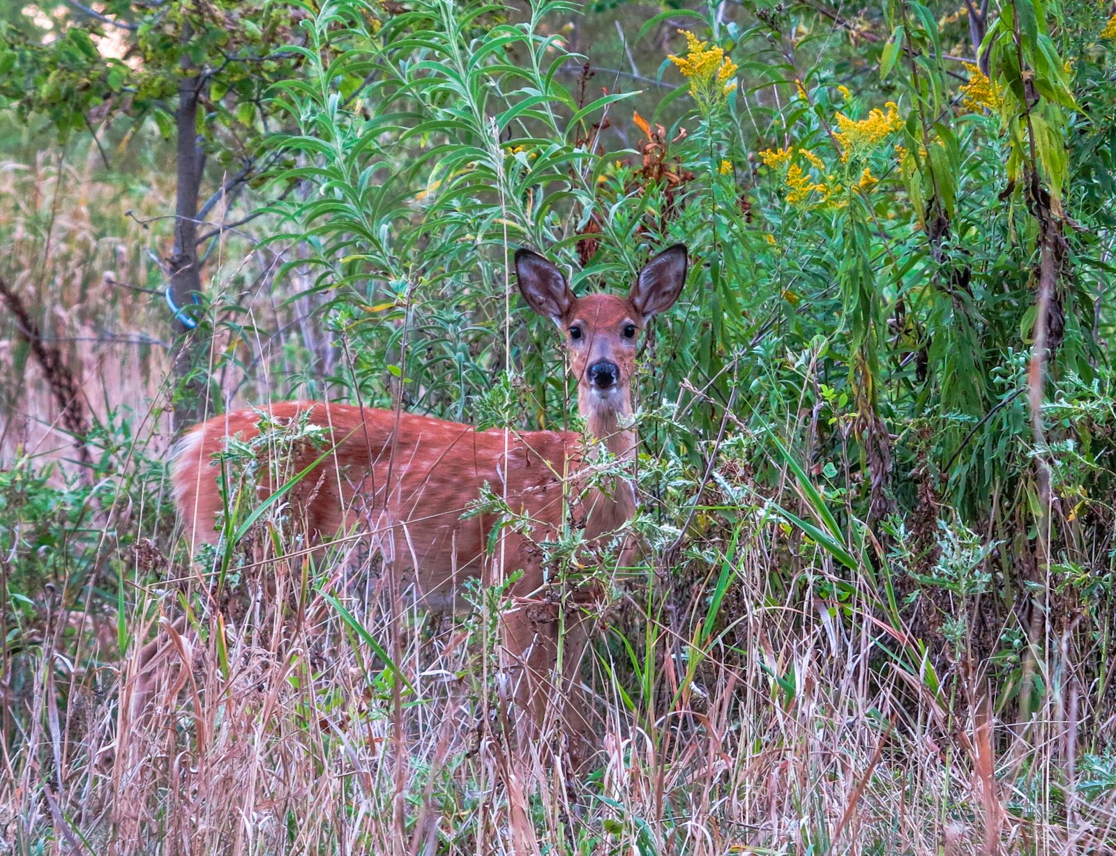 Fawn in the Flowers