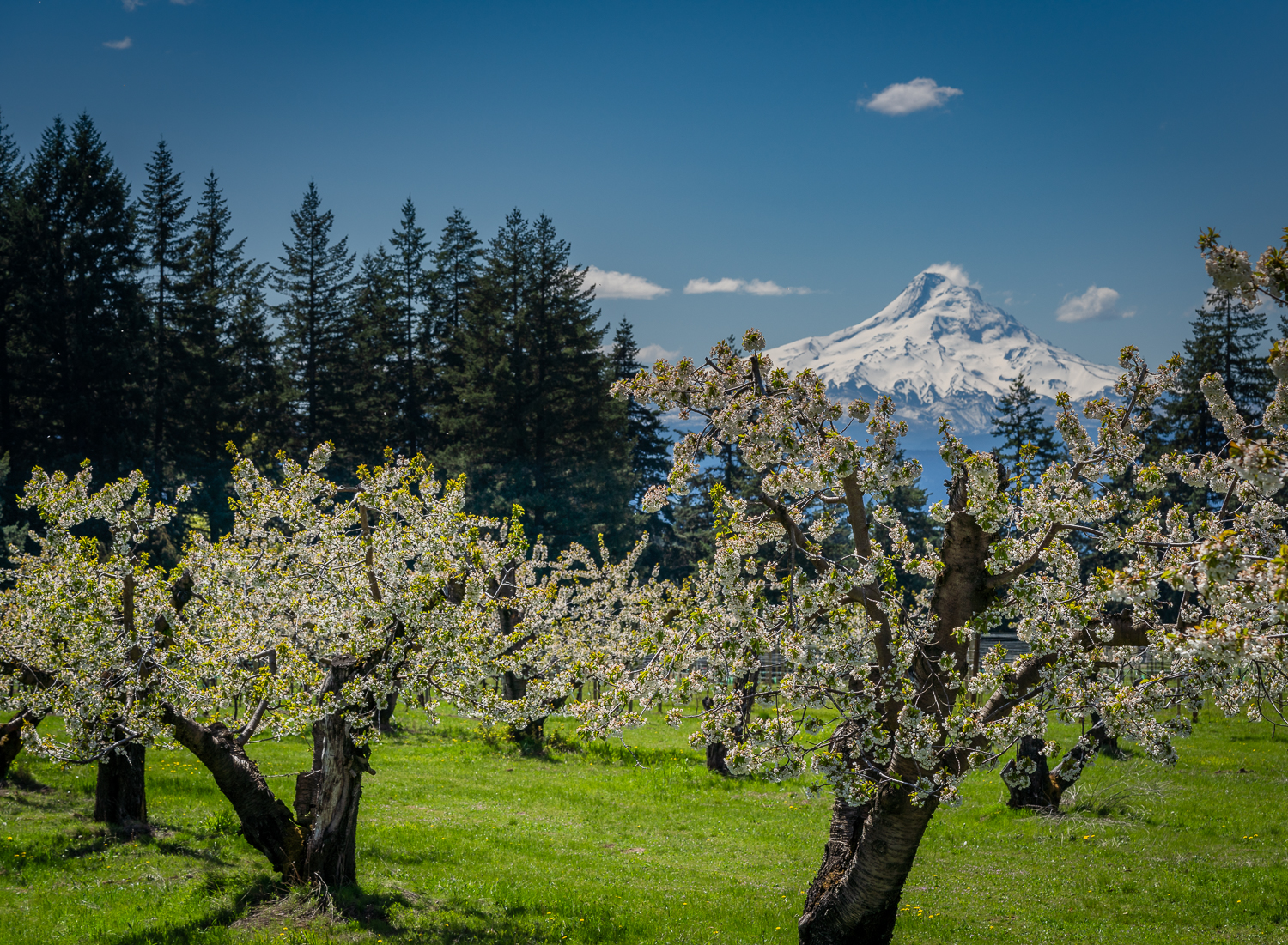 Cherry Blossoms and Mt Hood