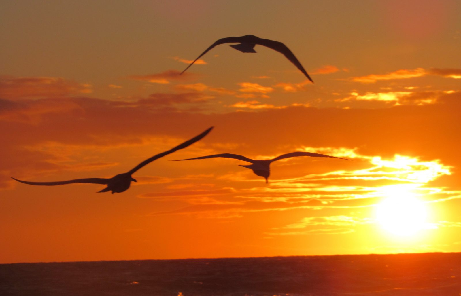 Seagals flying into the sunset