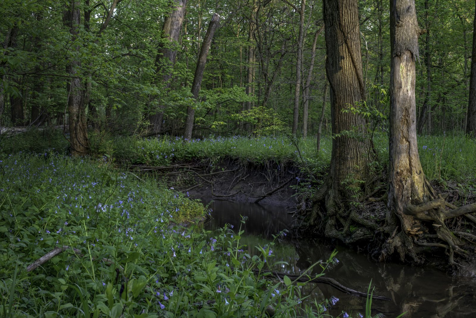 Bluebells Sparkling like Jewels in the Forest