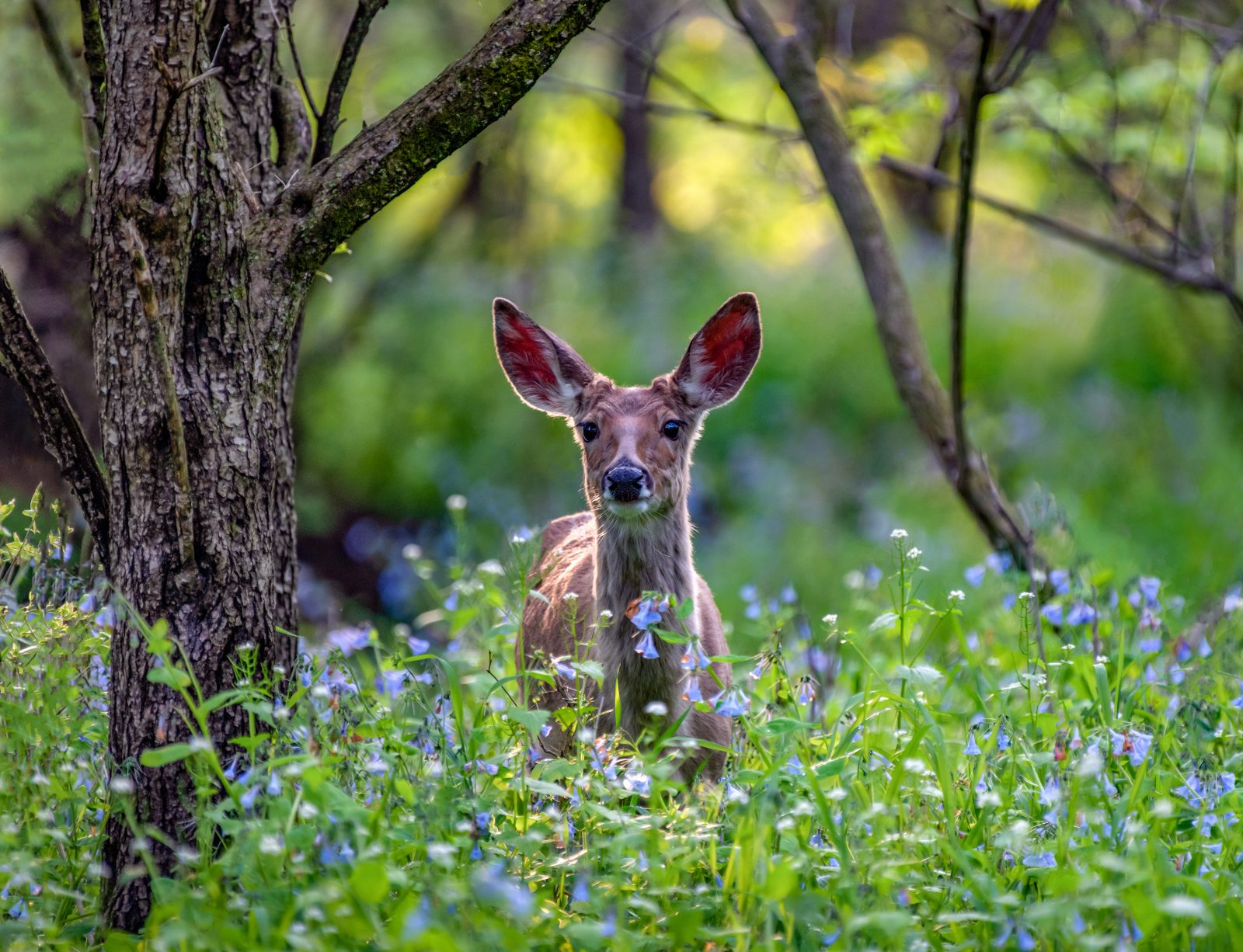 White-tail deer among the bluebells in the Forest
