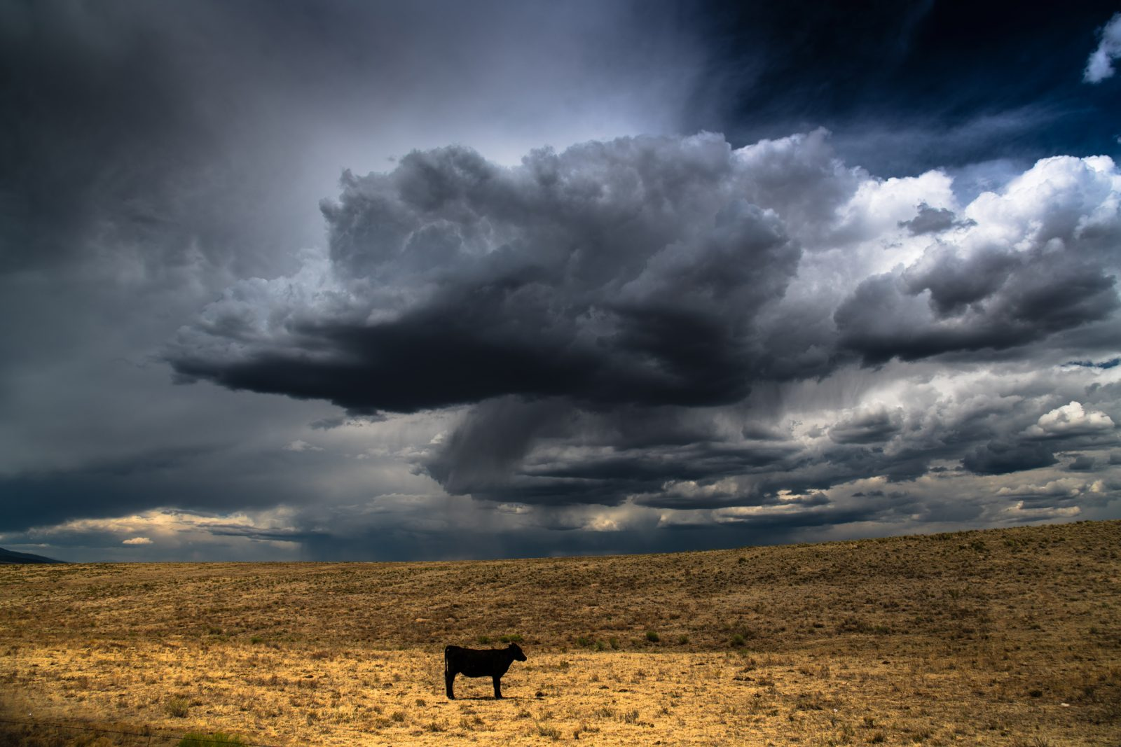 Calm Cow Before the Storm