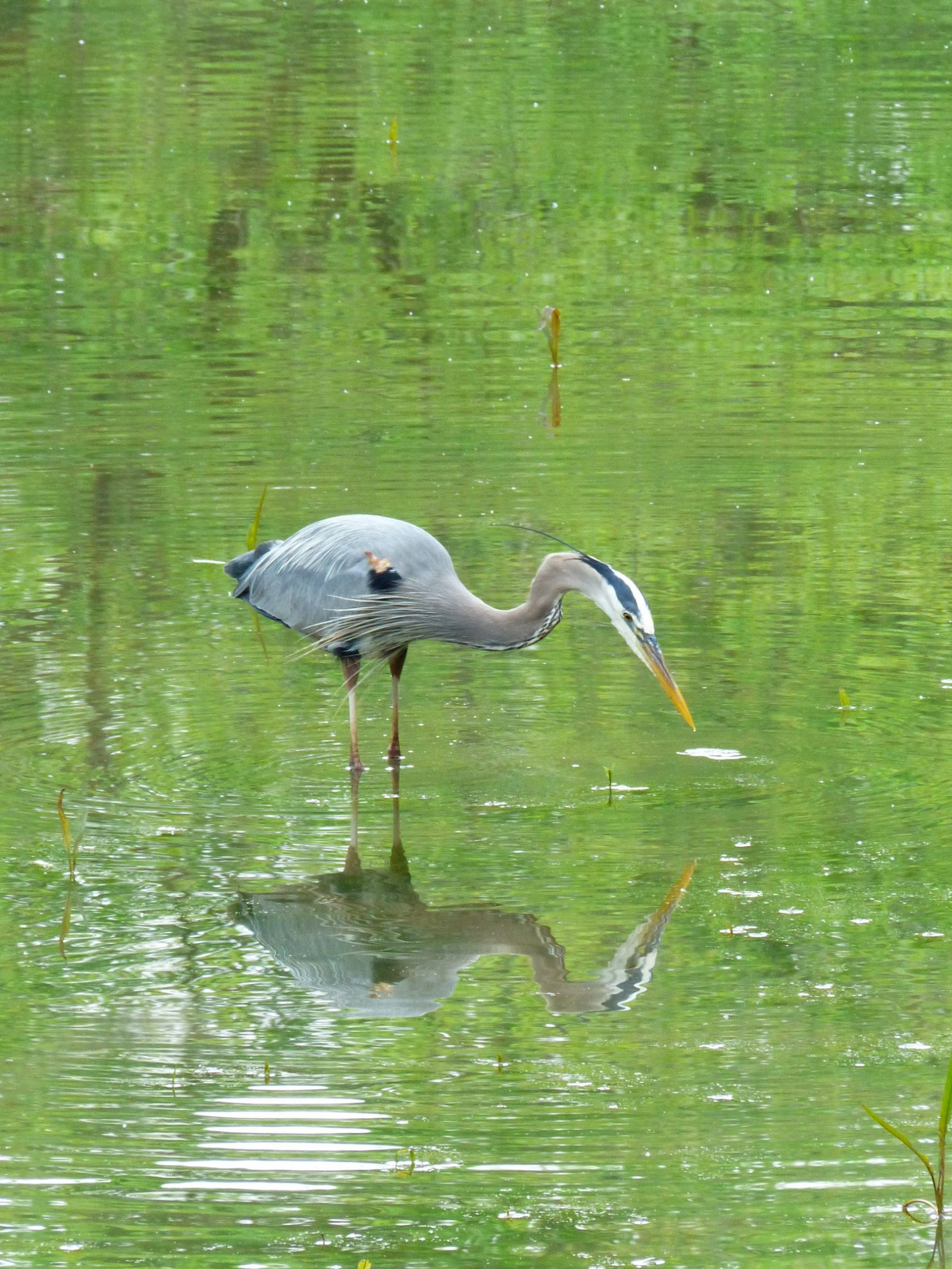 Heron in reflection