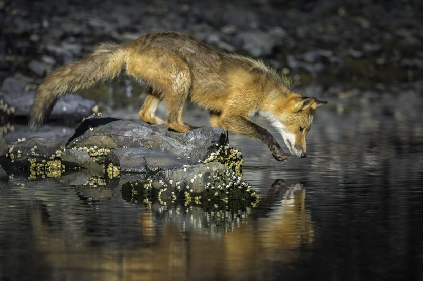 Red Fox and Reflection
