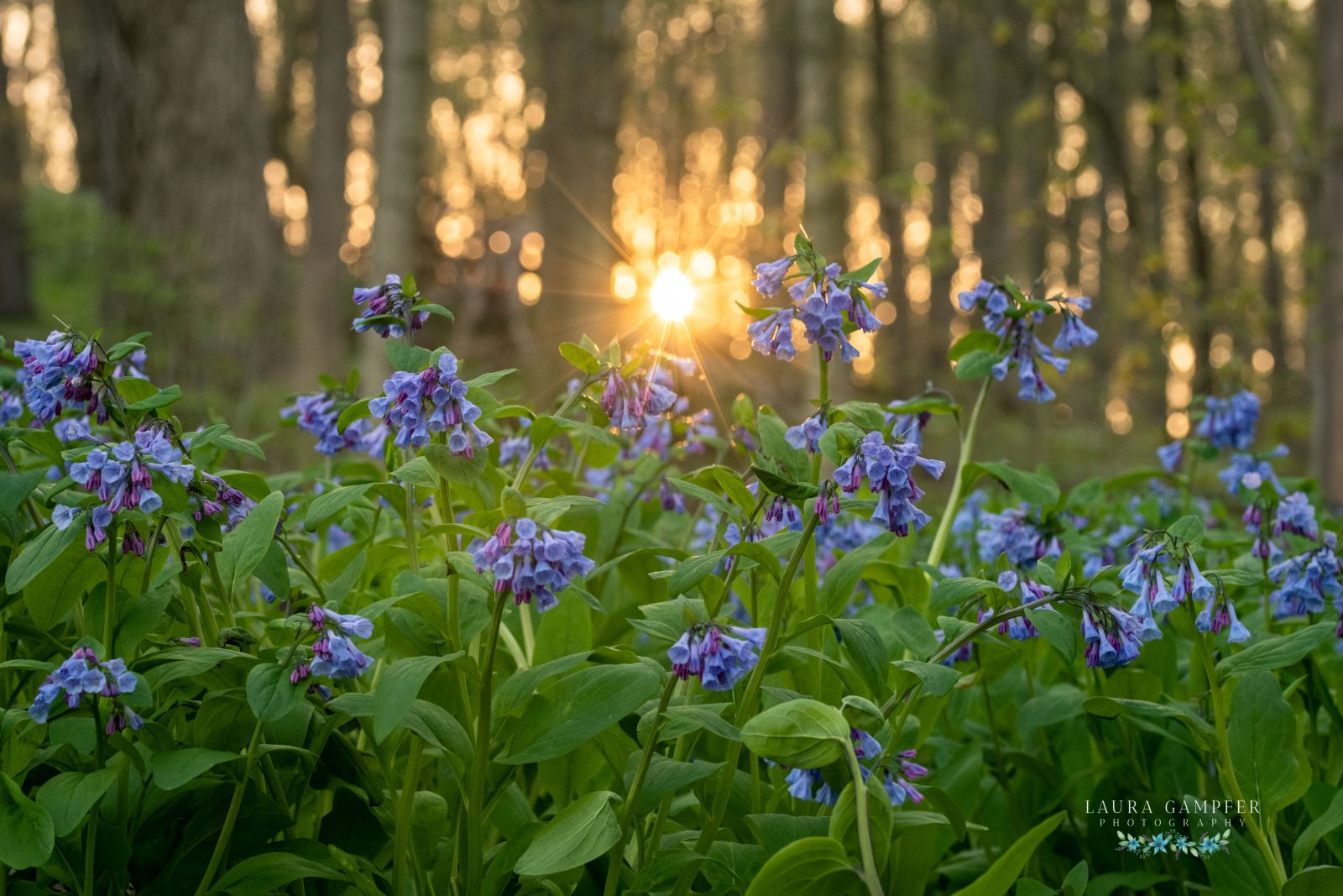 Virginia Bluebells at Sunset