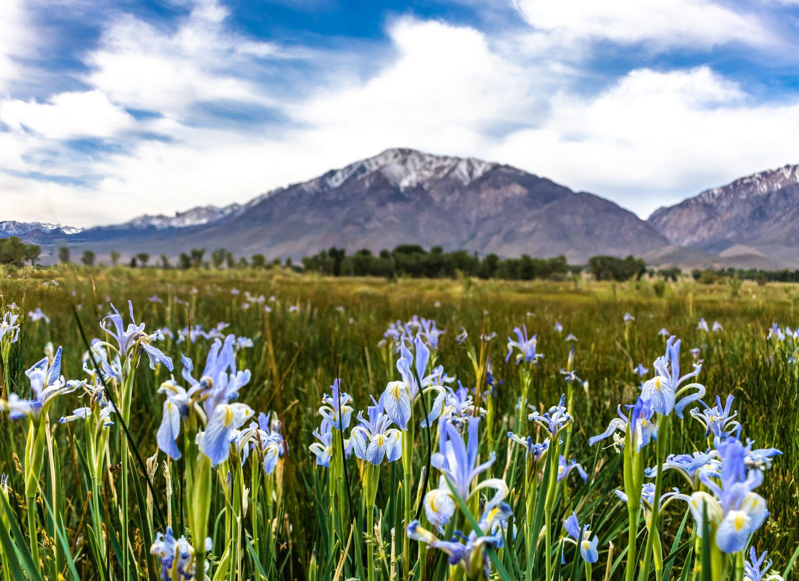 WIld Iris & The Sierra Nevada