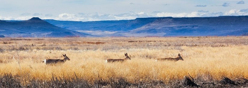 Muleys on the Move