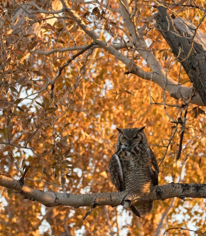 Great Horned Owl at Autumn Sunrise