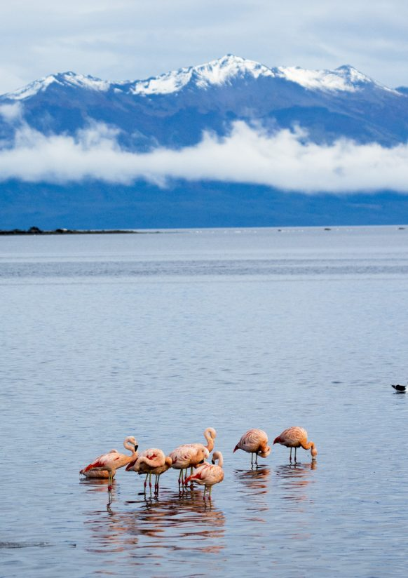 Flamingos with Andes