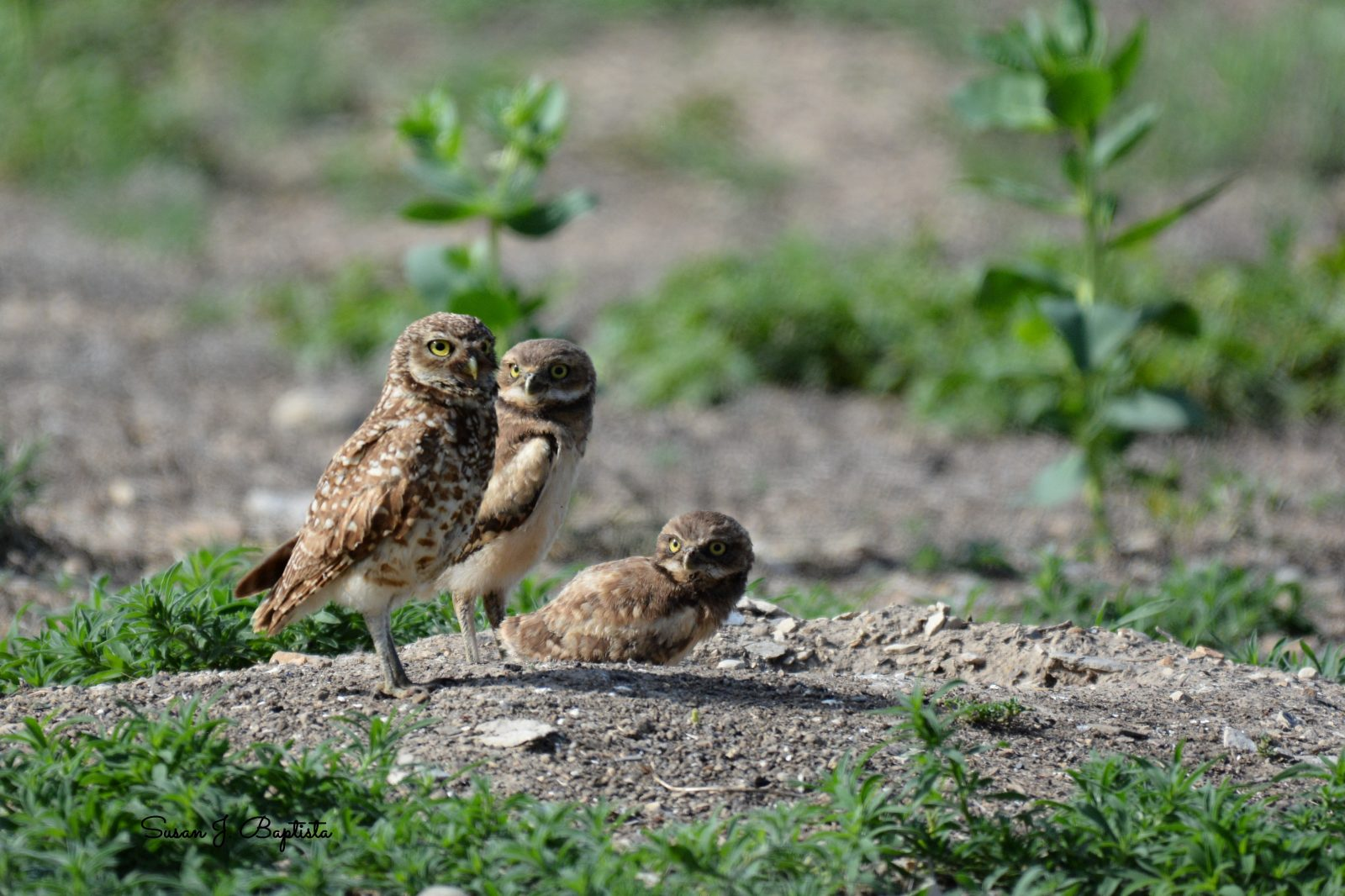 Owl Parent And Owlettes