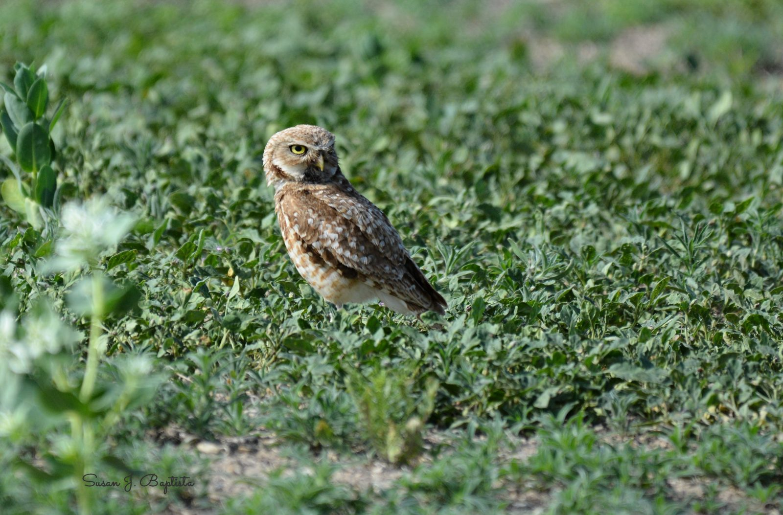 Burrowing Owl Stare