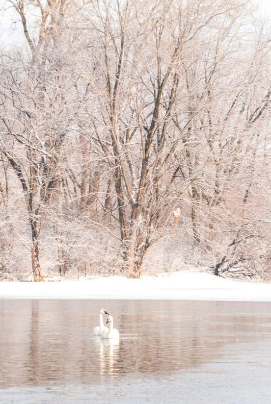 Swan Couple Surrounded by Frost