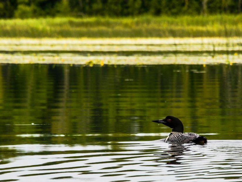 Lonely Loon