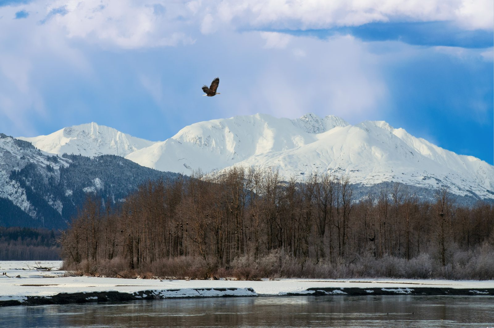 Eagle over the Chilkat