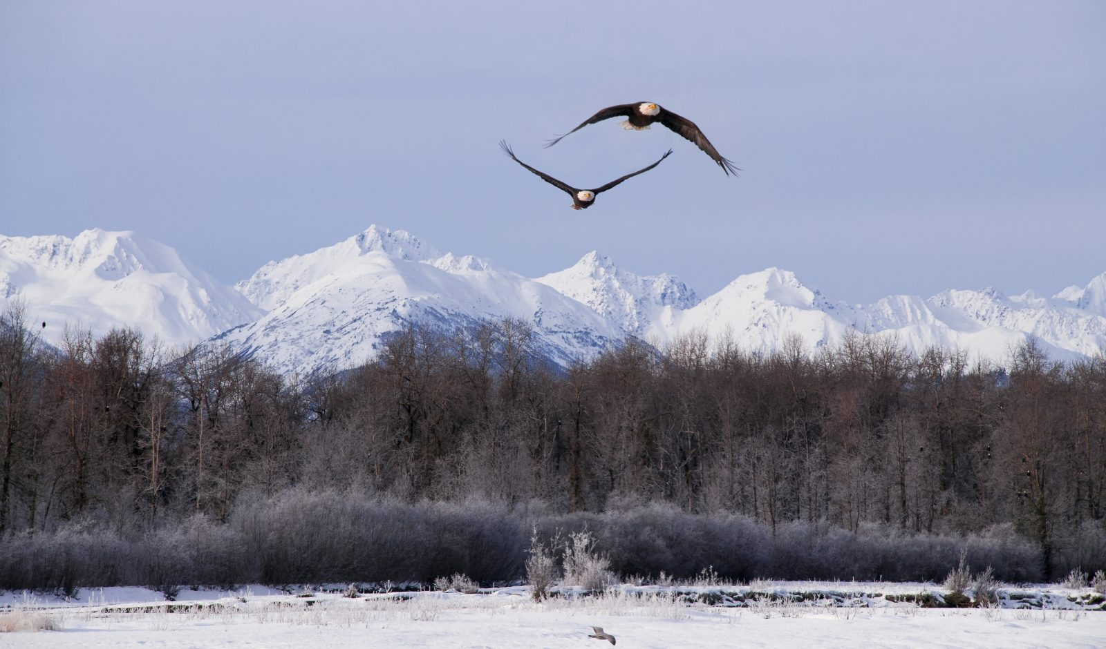 Eagles over the Chilkat