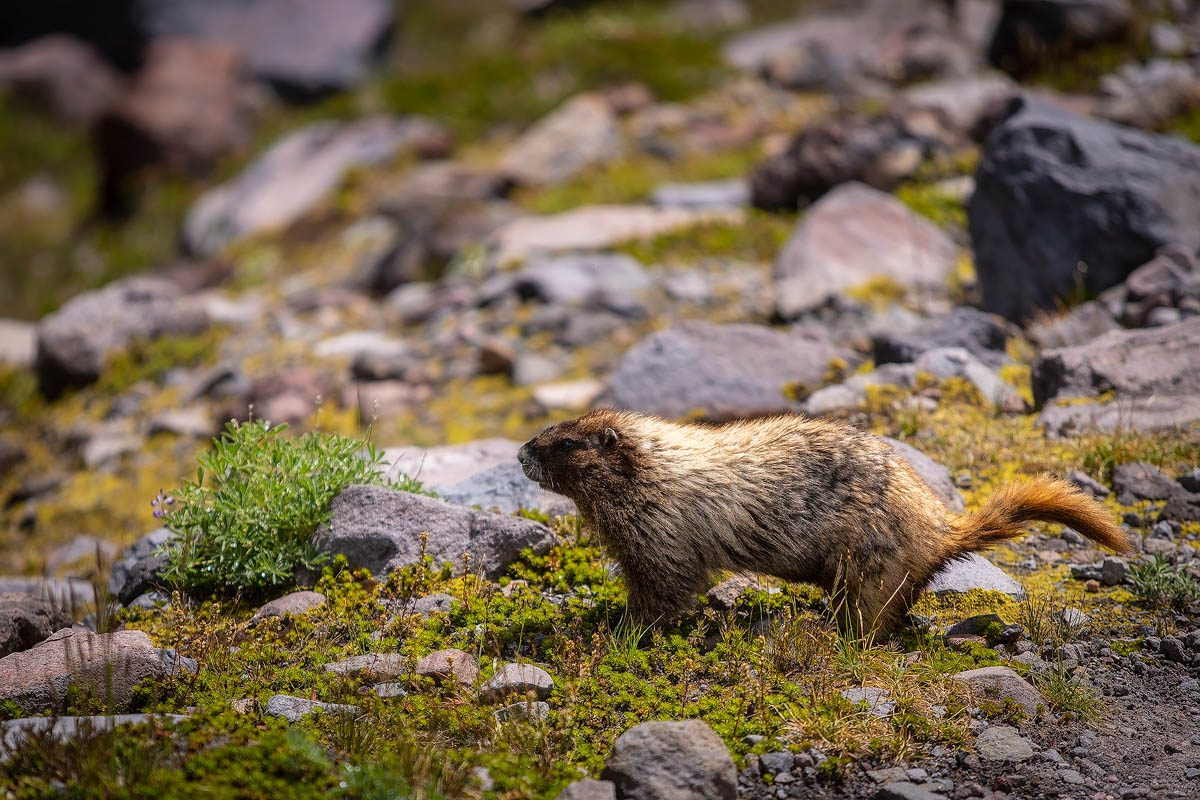Marmot at Mount Rainier