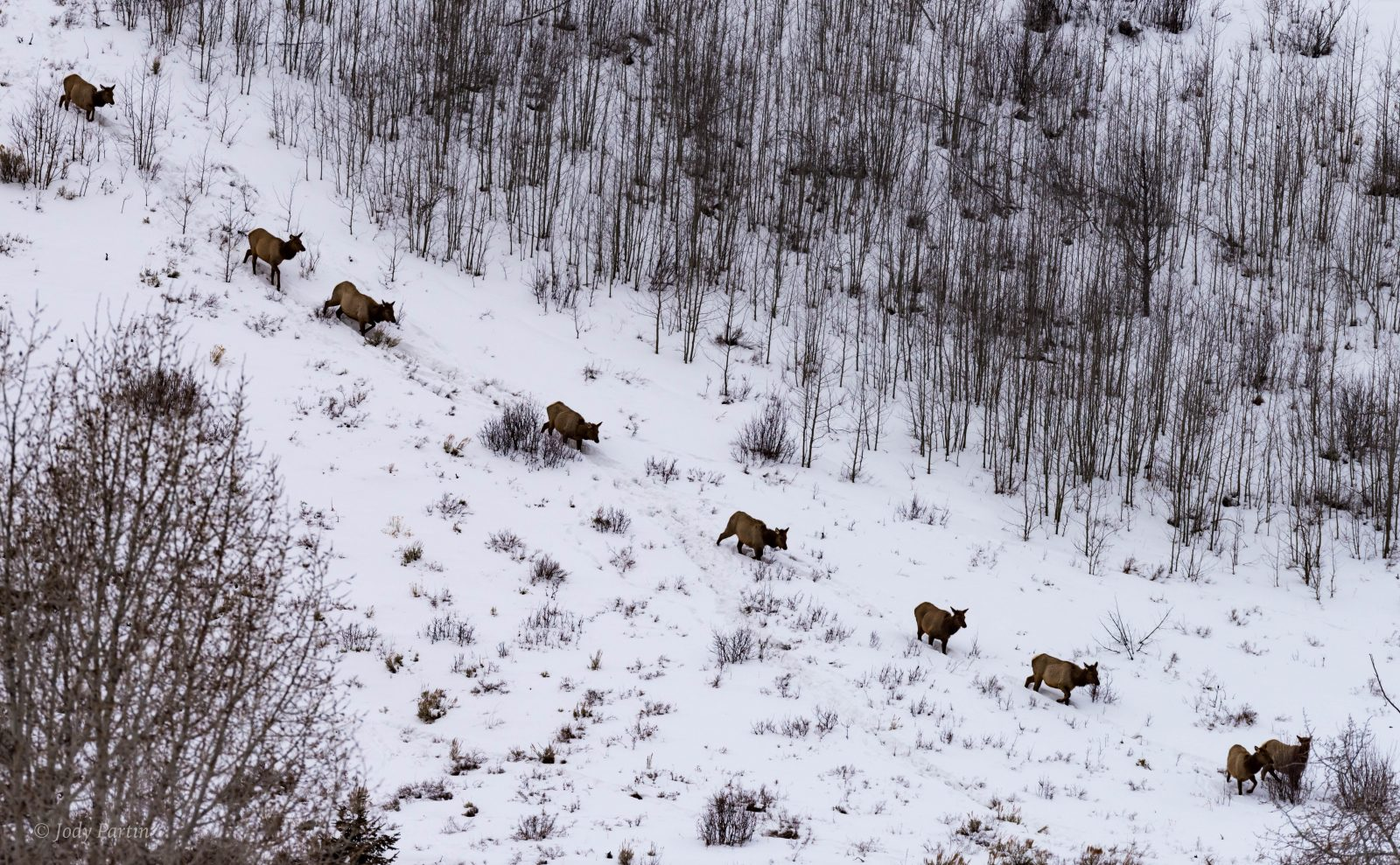Elk Herd Moving in Deep Snow