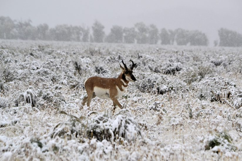 Pronghorn & Snowy Plain
