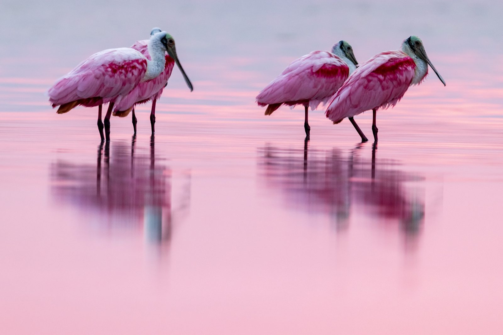 Pink Spatulas at dawn