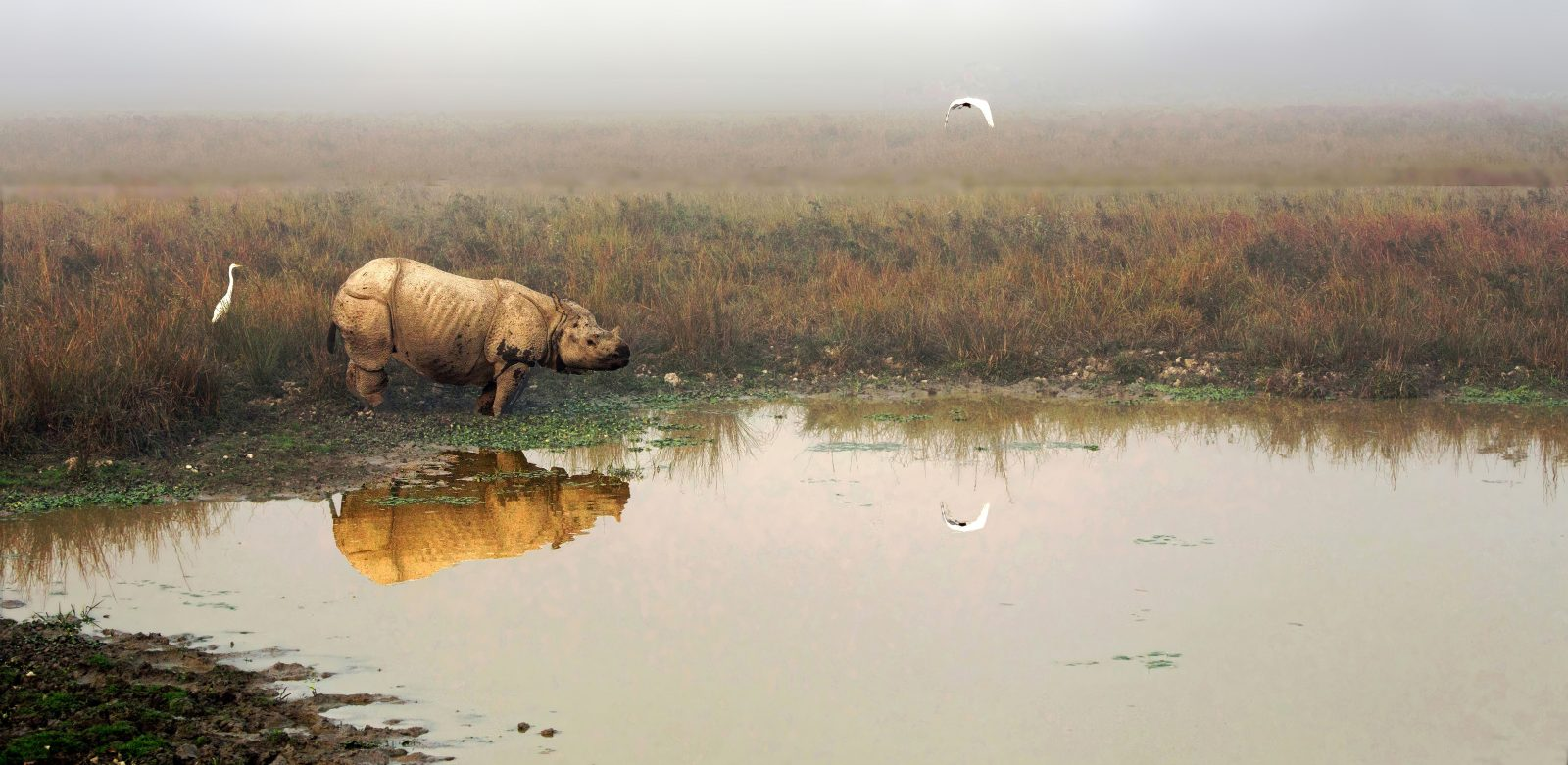 Great one-horned Indian Rhino on a swamp
