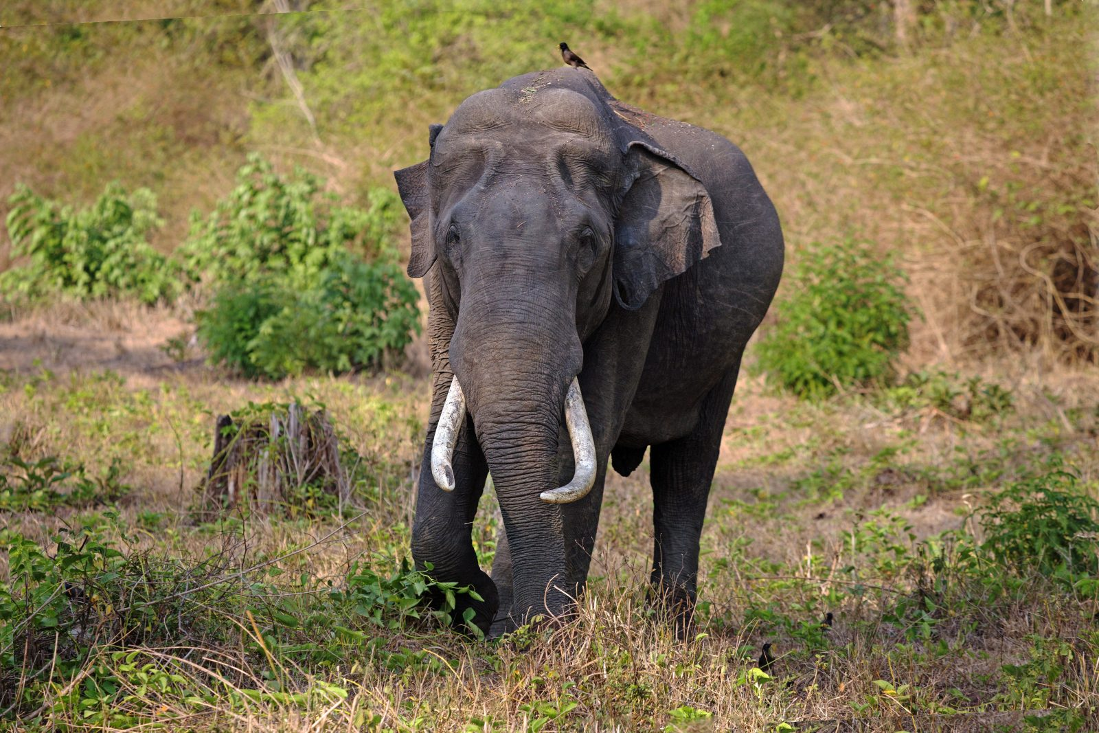 Lone tusker in Nagarahole national park
