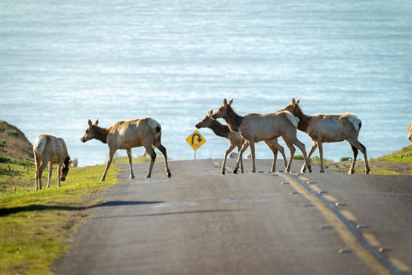 Tule elk crossing the road