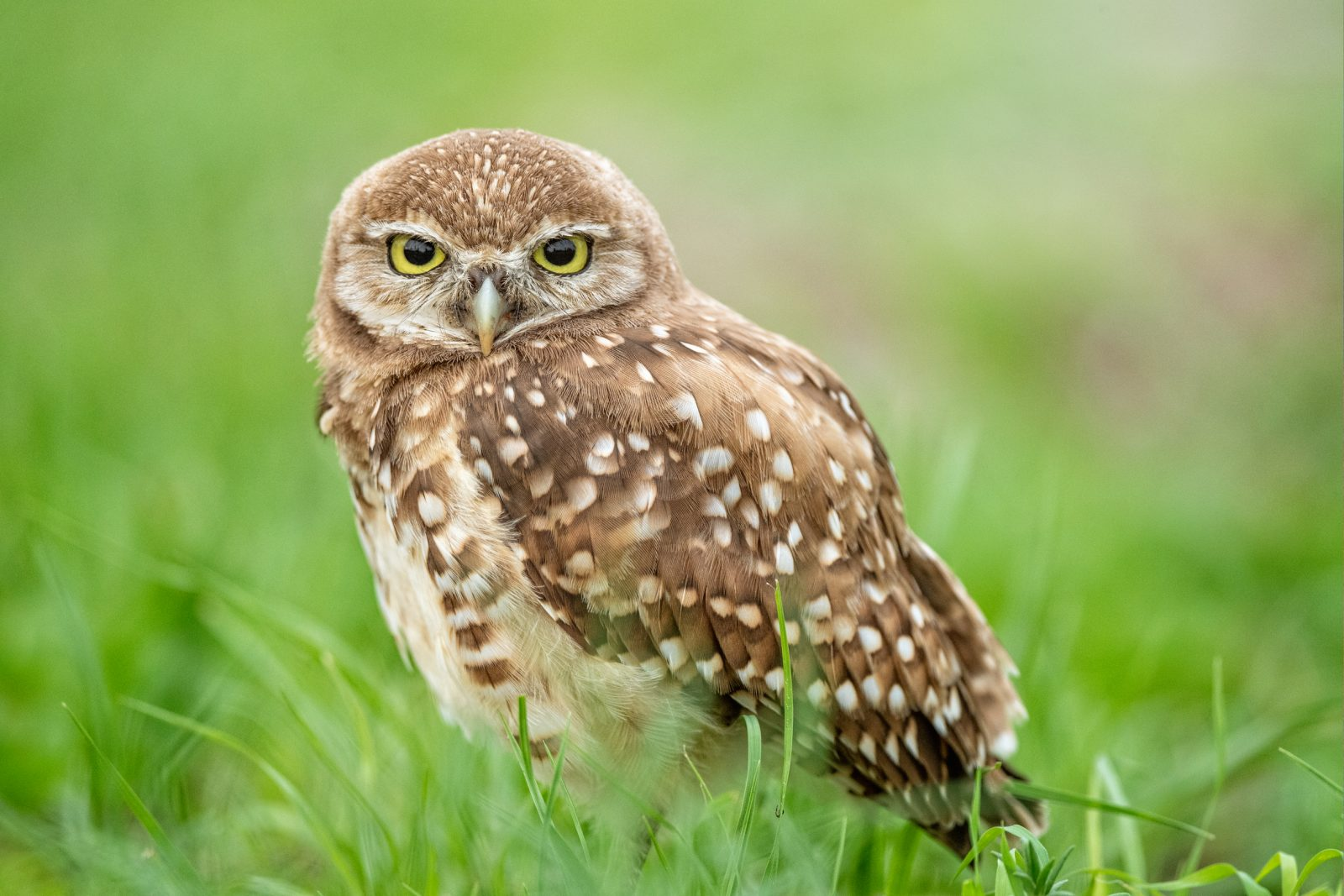Burrowing Owl On a Lazy Evening