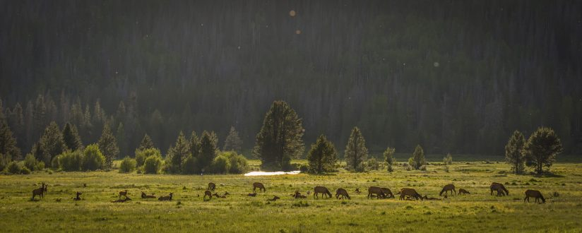 Elk Herd in the Colorado River valley