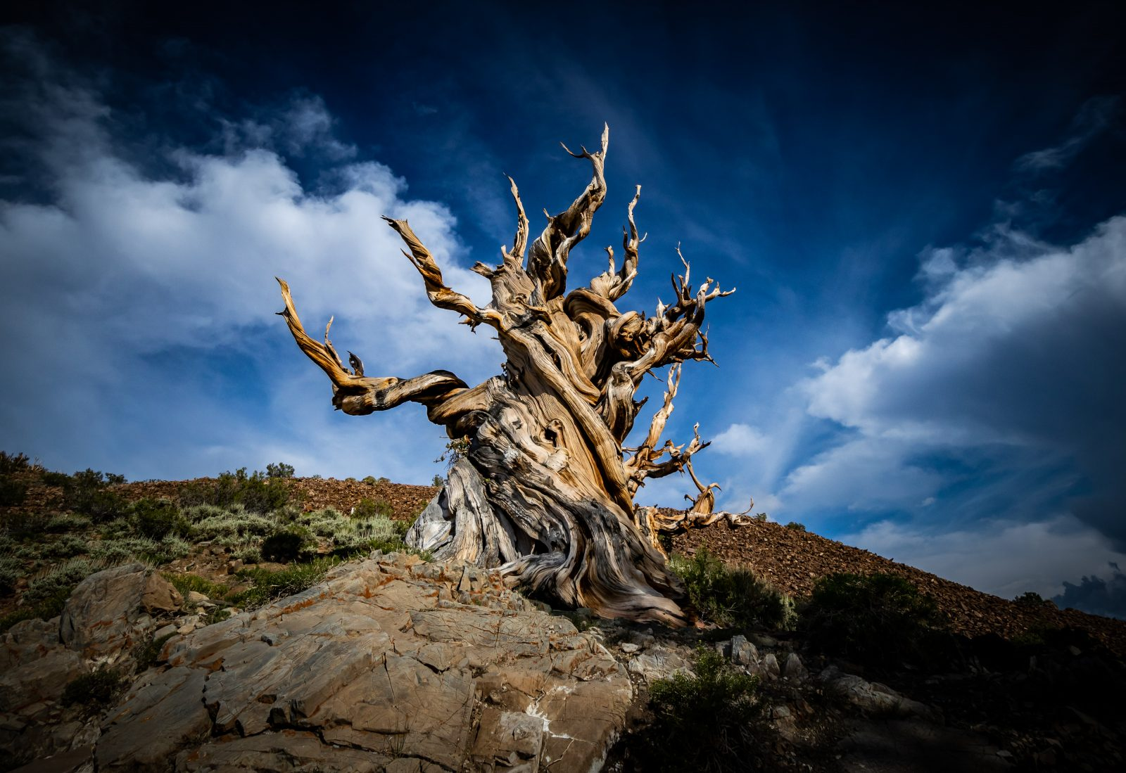 Gnarly Twisted Bristlecone Pine Tree (tai-wii-uhh)