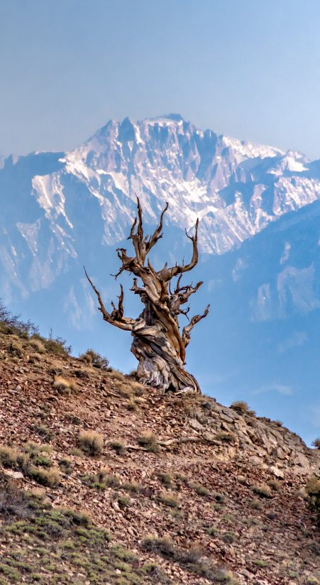 An Ancient Bristlecone Pine Tree With Mt. Williamson Towering Over The Lone Tree