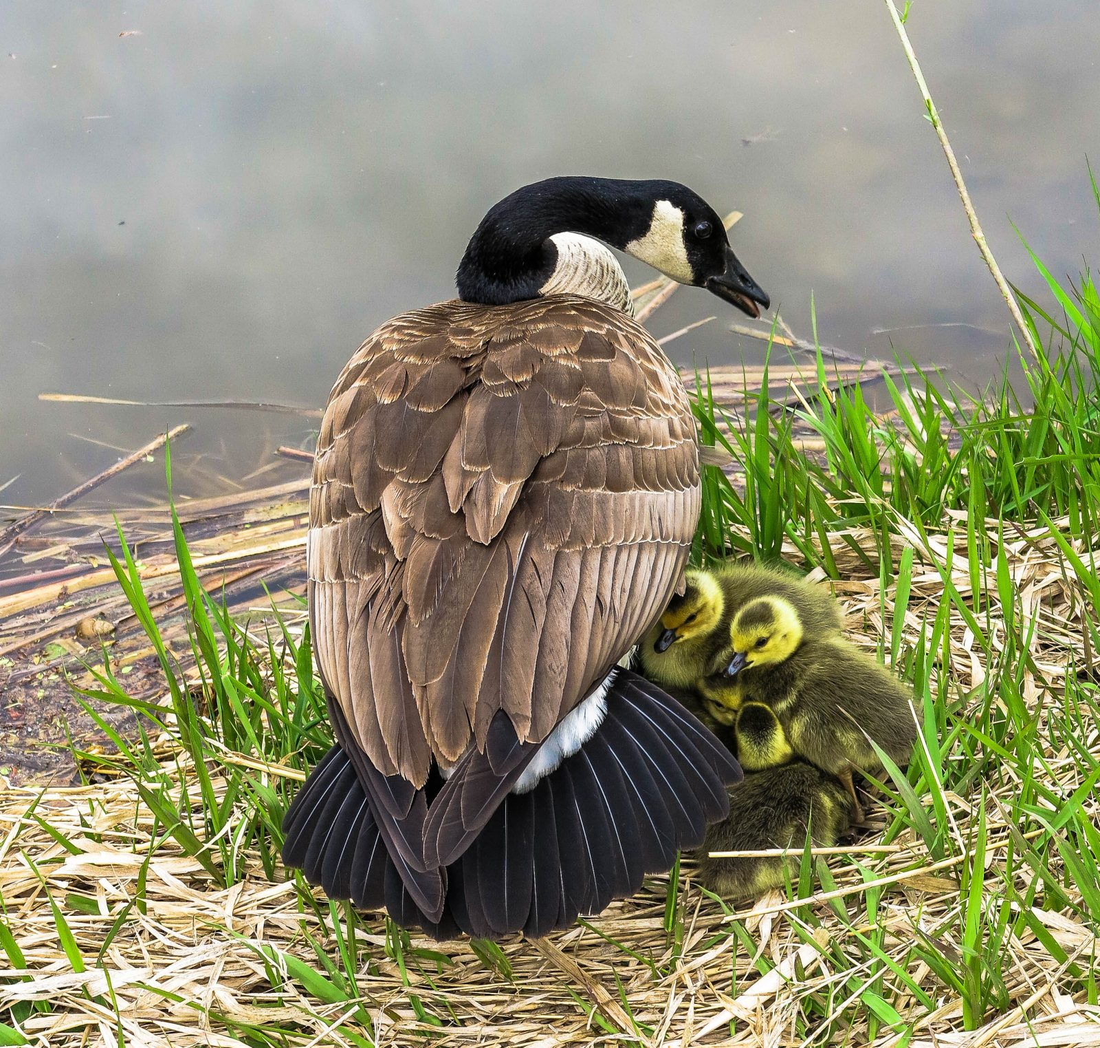 Goose with her Goslings