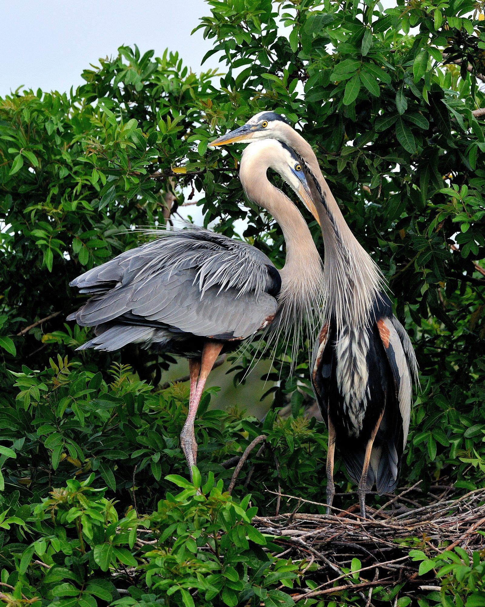 Blue Heron Love