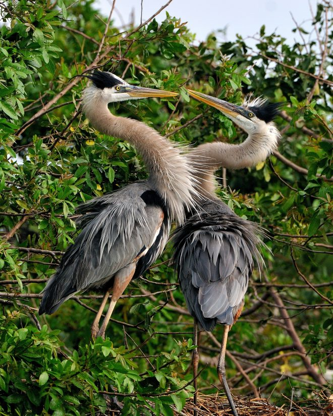 Blue Heron Courting