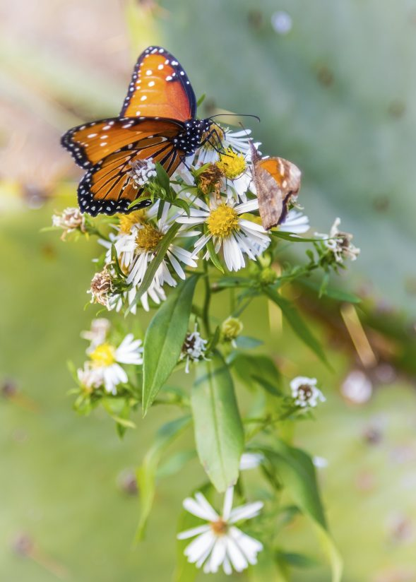 Monarch and Prickly Pear