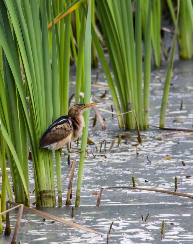Least Bittern in the reeds