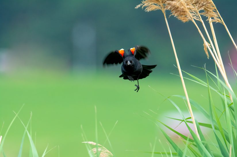 Red Winged Black Bird in Flight