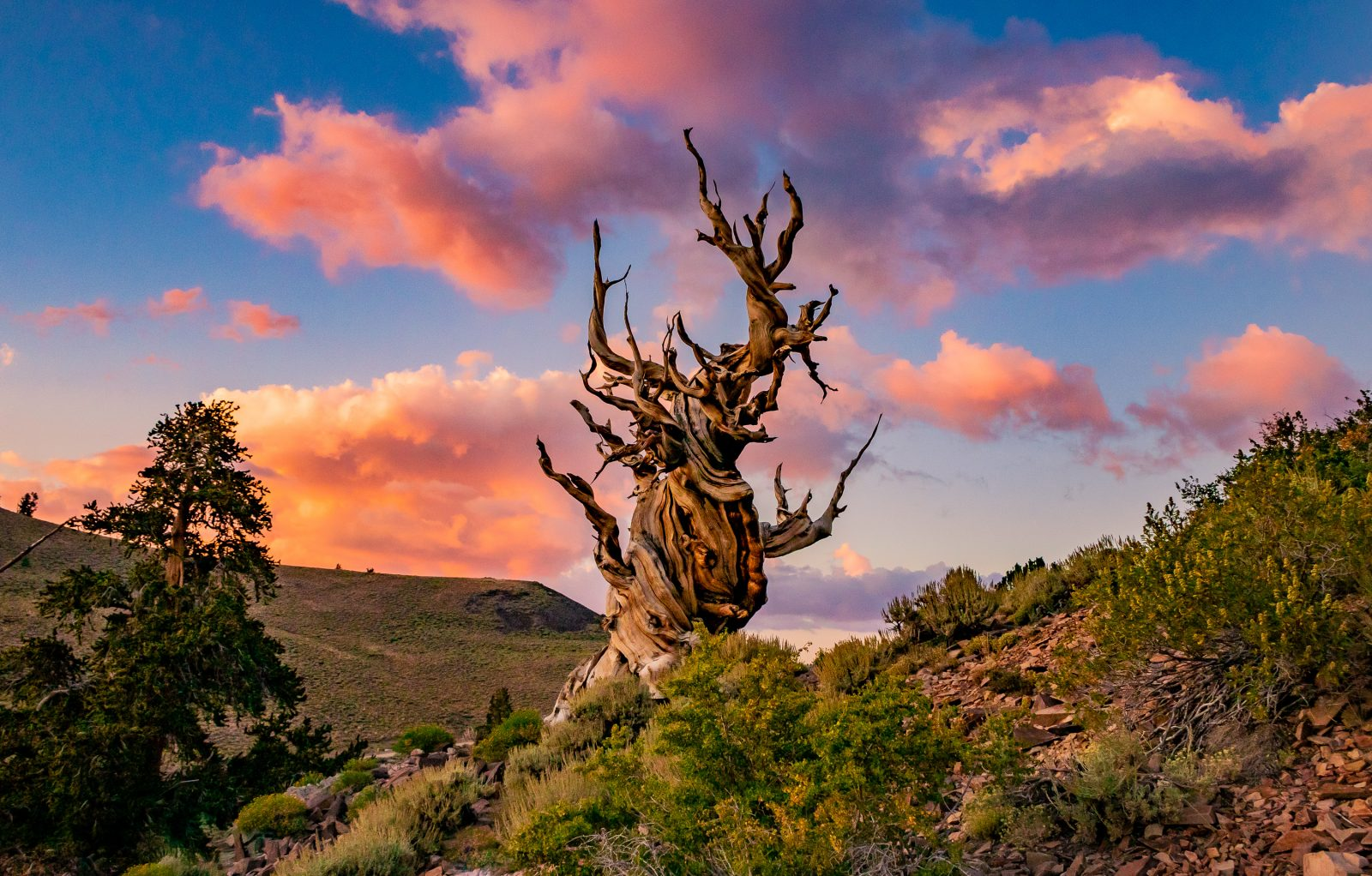 Summer Sizzle Over An Bristlecone Pine Tree