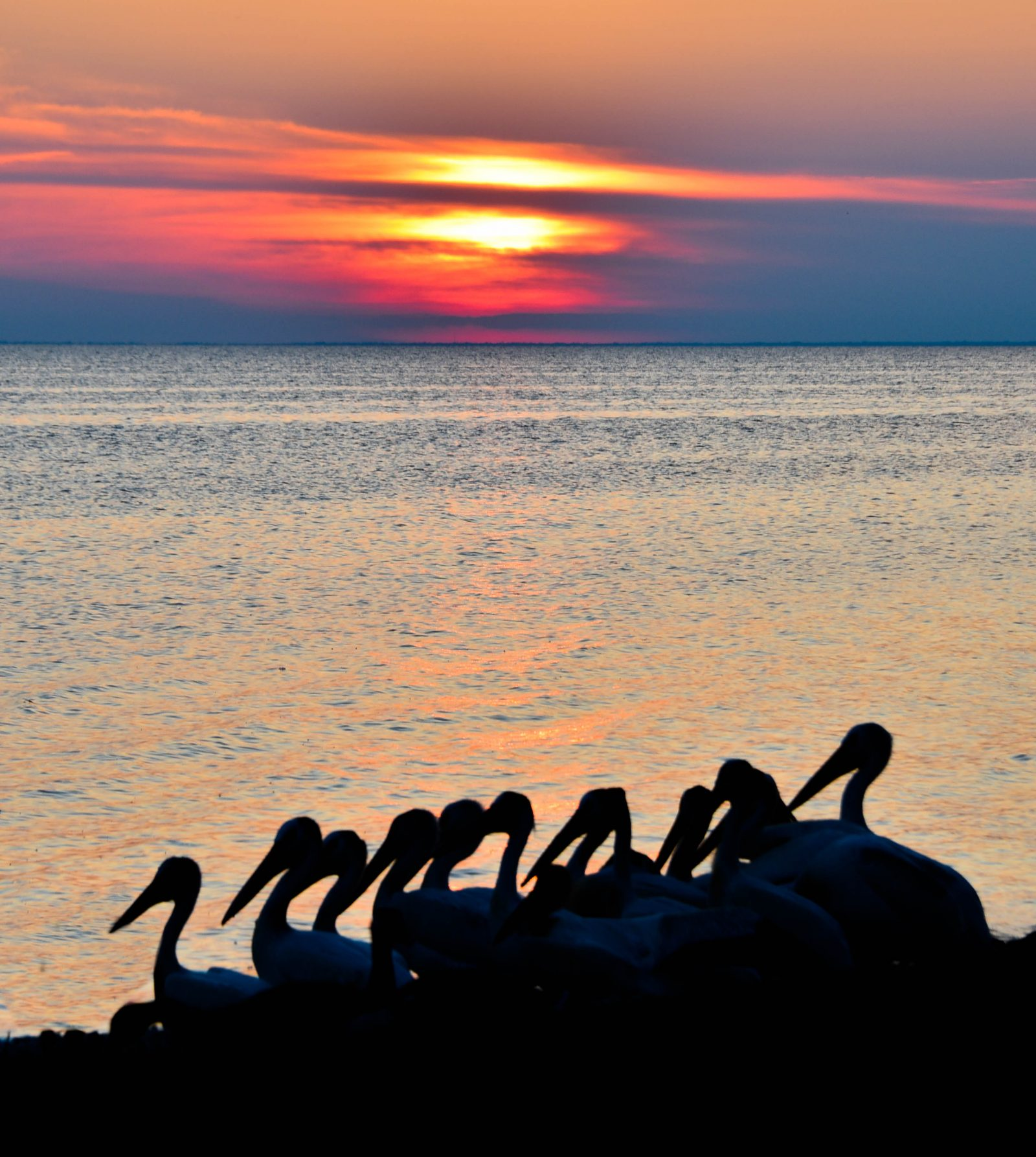 Pelicans at Sunset