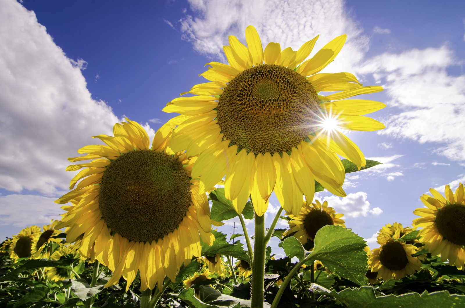 Sun Over Sunflowers
