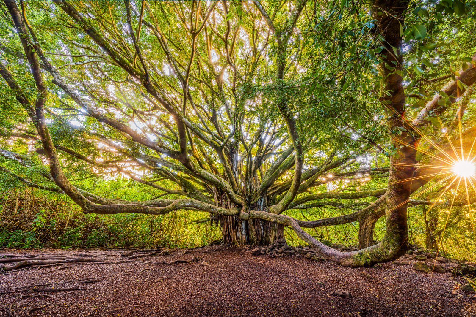 Maui Tree to the Past