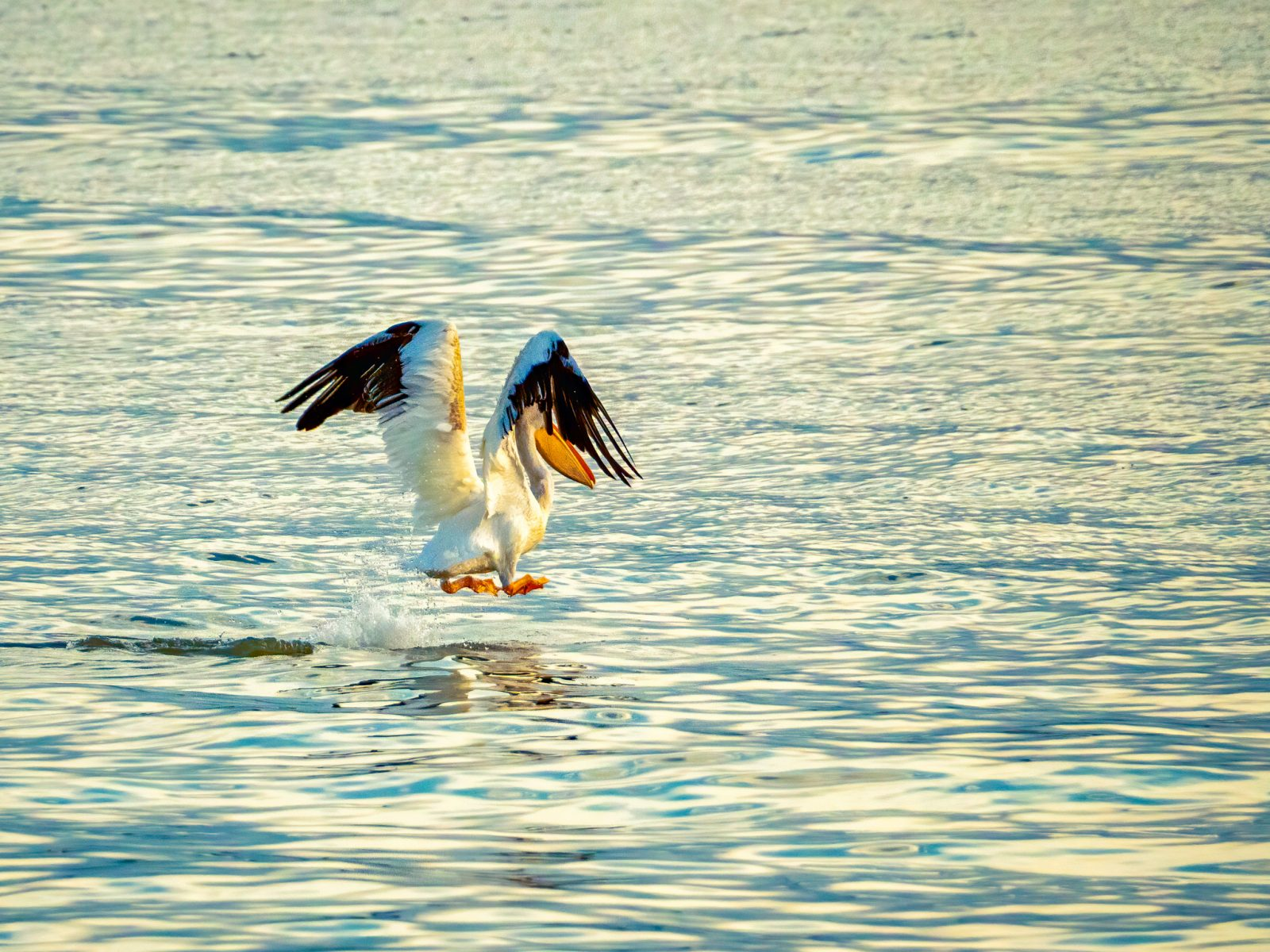 White Pelican on Takeoff