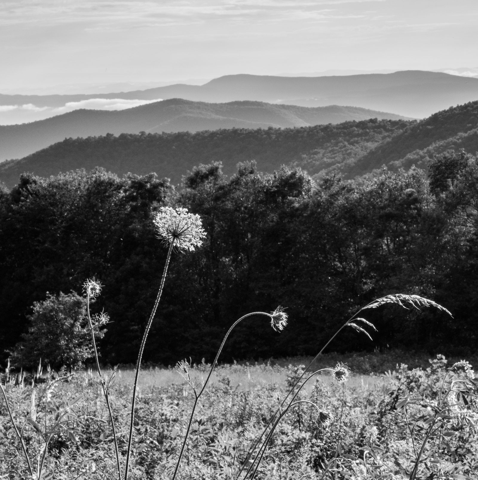 Queen Anne's Lace in Shenandoah NP