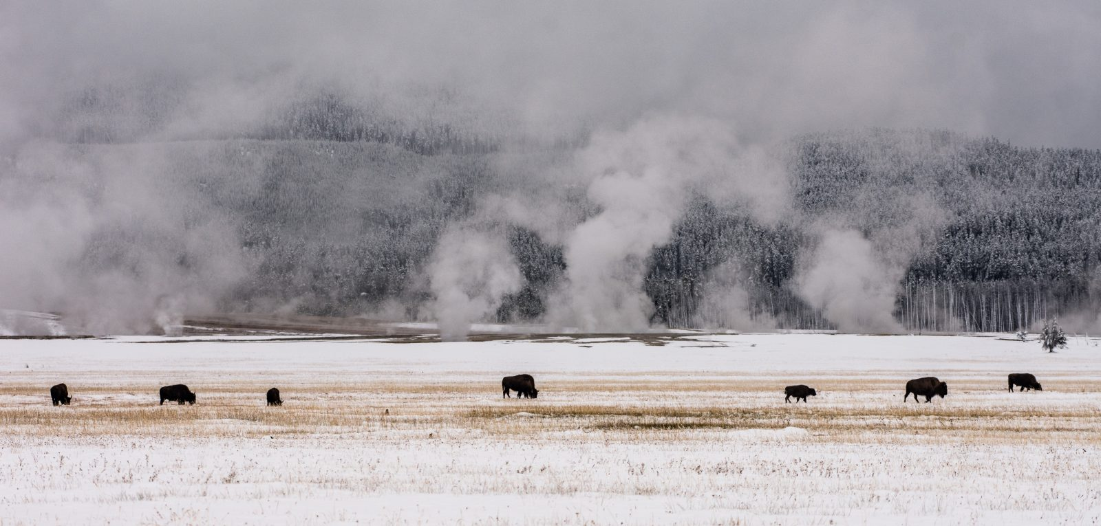 Bison and Thermals
