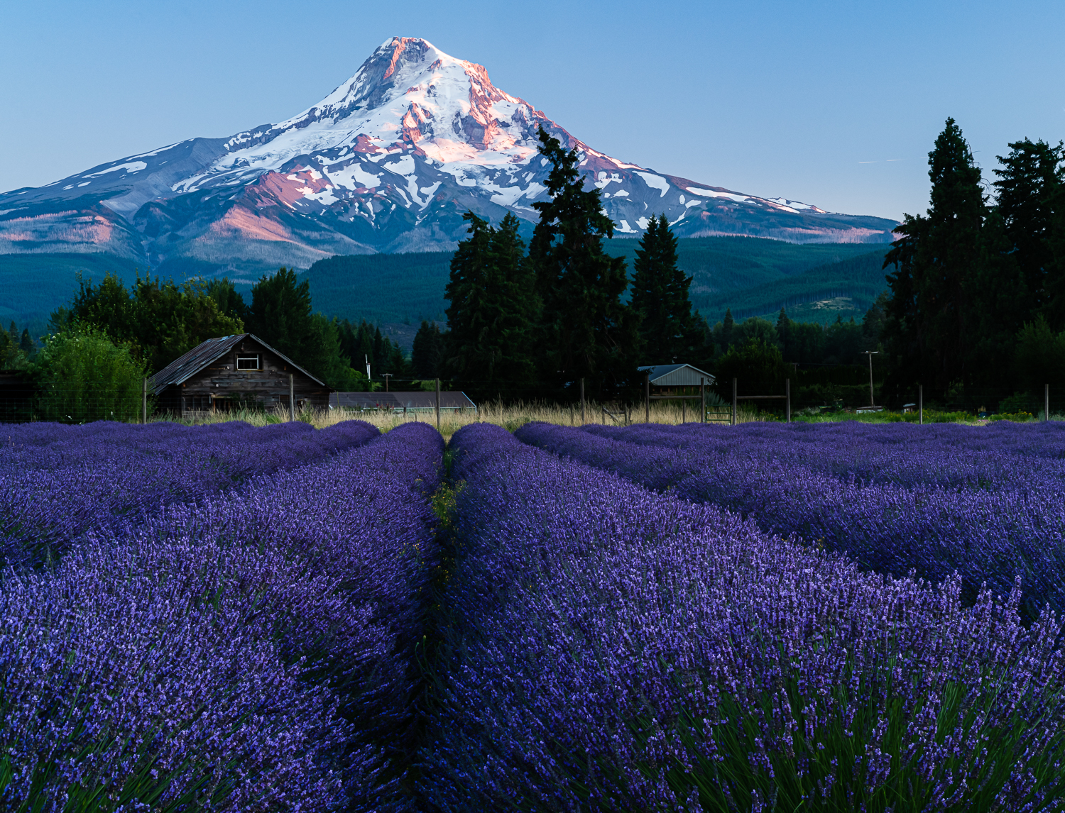Mt Hood and Lavender Valley