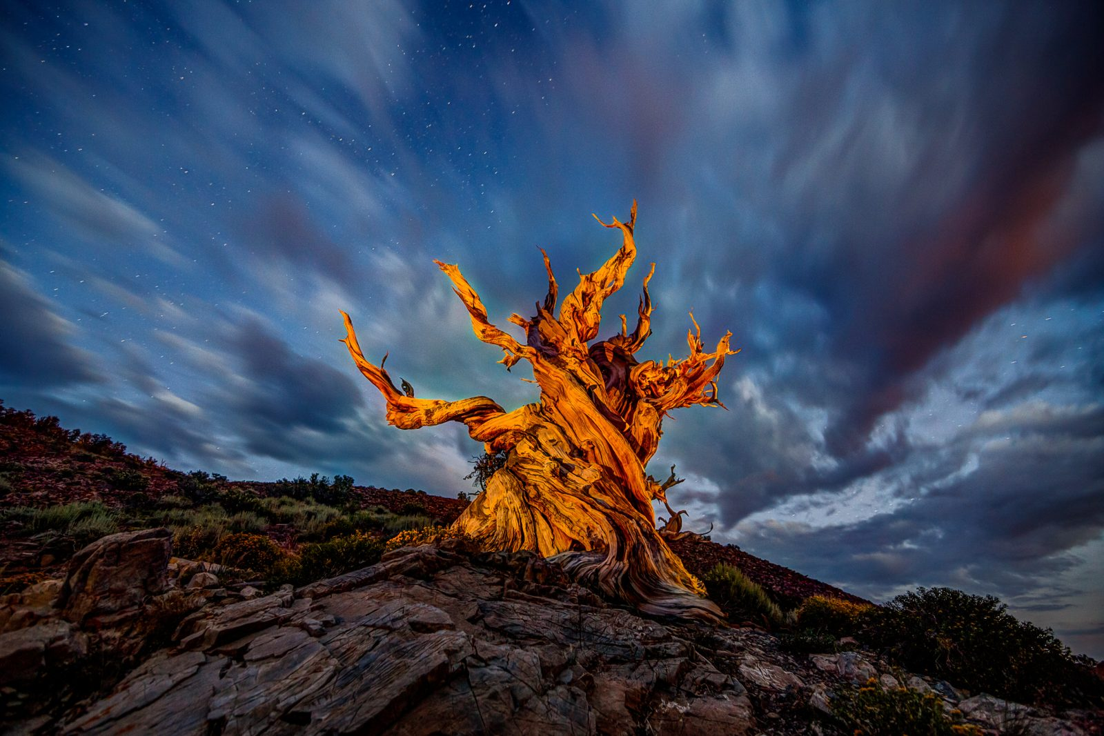Blue Hour Bristlecone